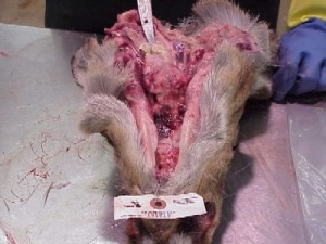 3 Bovine TB abscess in medial retropharyngeal  lymph node in wild deer head.
